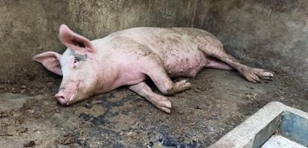 Banyak ternak babi mati mendadak di Kabupaten Gianyar